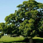 oak tree facts