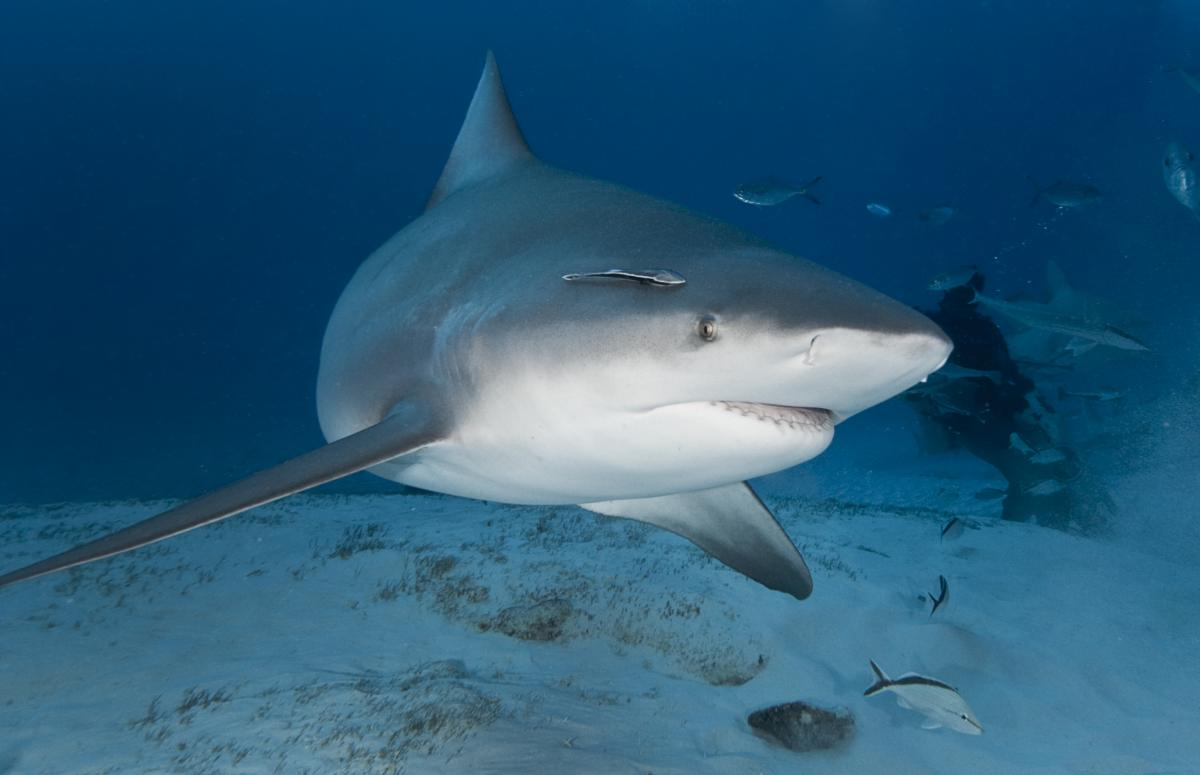 coolest bull shark