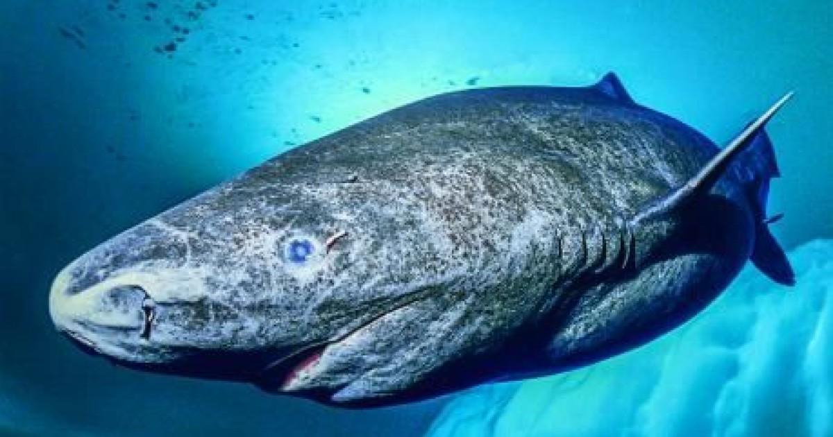 coolest greenland shark