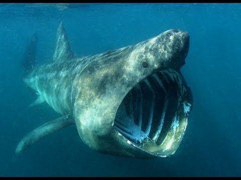 coolest megamouth shark