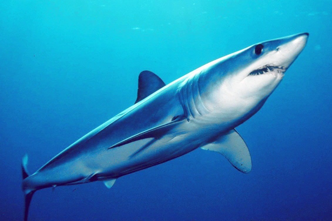 coolest shark mako shark