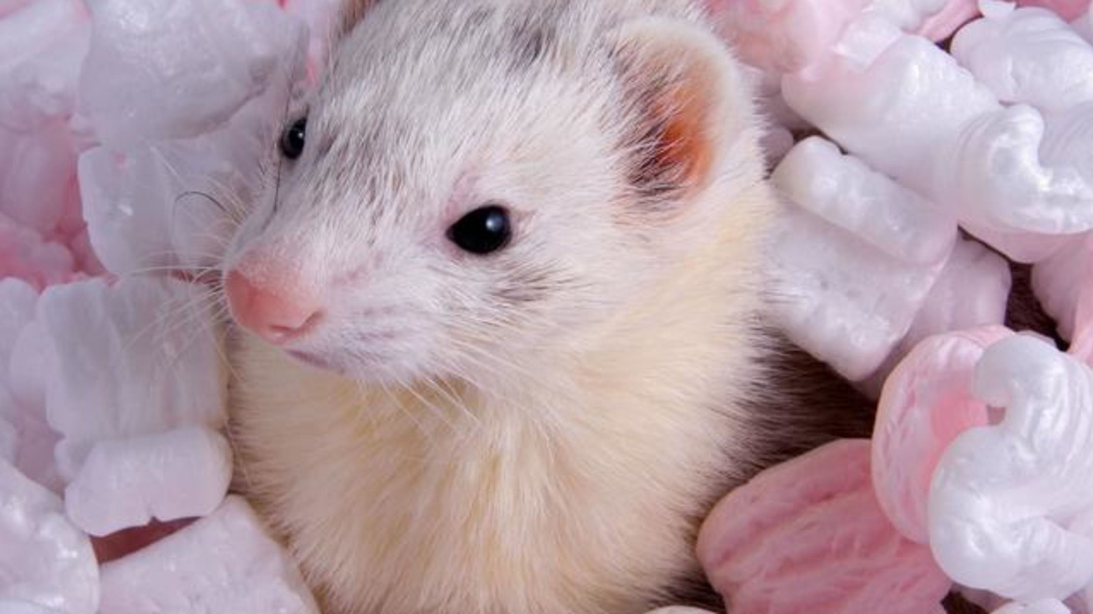 furry ferret facts